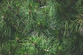 closeup of pine tree outdoor day shot