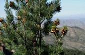 """Pinyon Pine bearing pine nuts in the Chiricahua Mountains, Arizona, USA"""