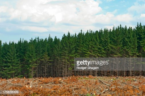 Pine plantation during harvest. Western Cape Province, South Africa