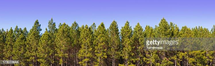 Pine Plantation Panorama XXL - 171 Megapixel