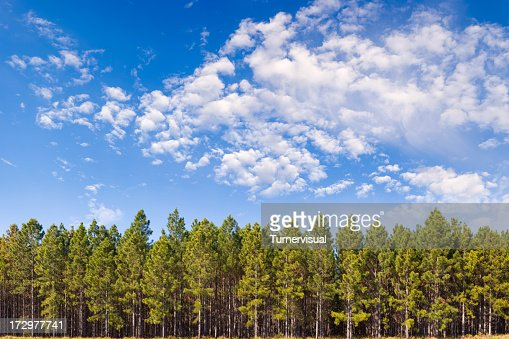 Pine Plantation XXL - 150 megapixéis