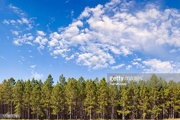Pine Plantation XXL - 150-Megapixel