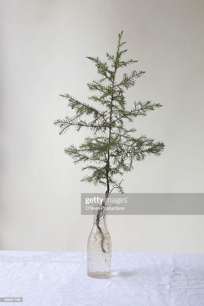 Pine sapling in glass bottle : Stock Photo