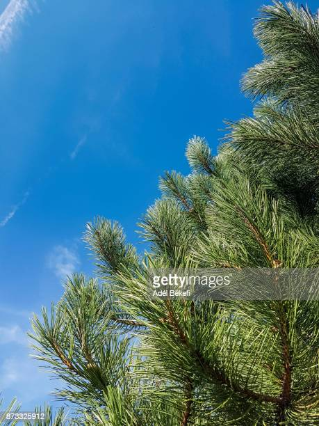 Pine Tree and blue sky