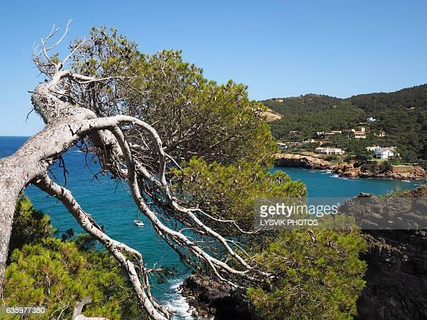 Pine tree and coastline near Sa Riera, Gerona