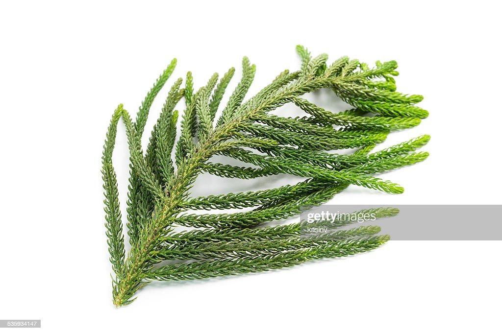 pine tree branch : Stock Photo