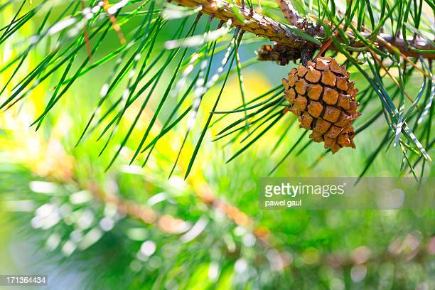 Pine tree branch with one cone