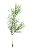 Pine tree branches isolated on white background. Nature objact