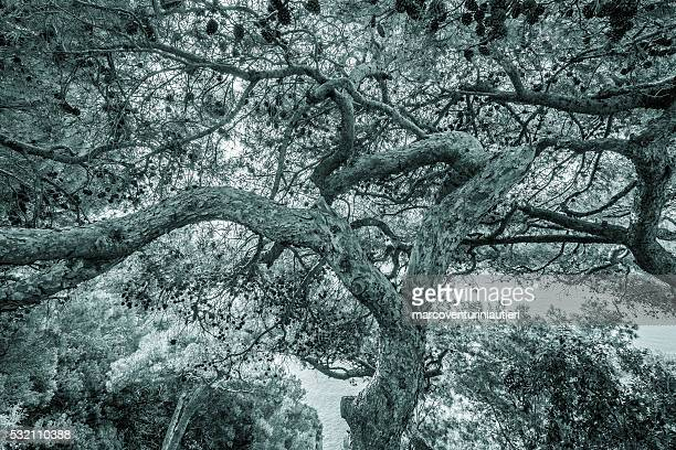 Pine tree canopy - Black and white toned textured background