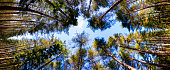 Looking up at the tree canopy of a pine forest