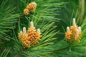 Pine tree flower closeup of wilding Pinus radiata.