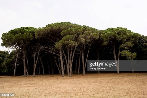 Pine tree forest in Brijuni National Park
