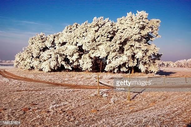 Arbre de pin de la forêt d'hiver paysage de Prairie (Brandebourg en Allemagne