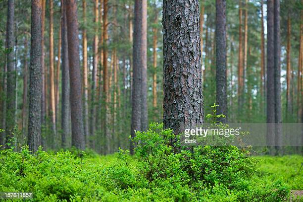 Pine tree forest with blanket of green under cover