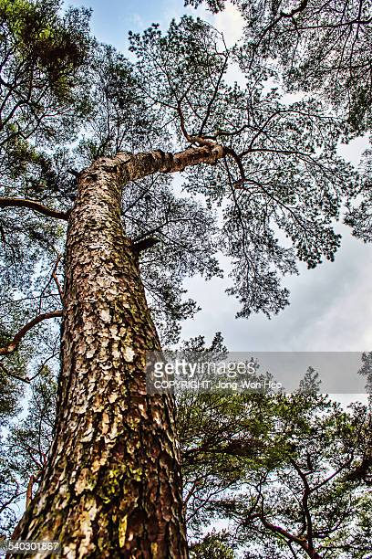 A pine tree going up to the sky