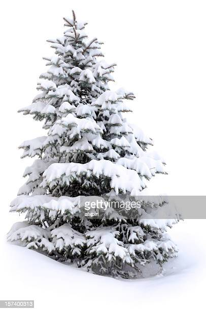 Pine tree in Schnee