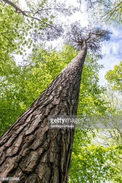 Pine tree in springtime