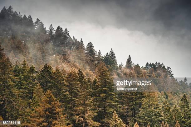 オレゴン州の霧の中で松の木