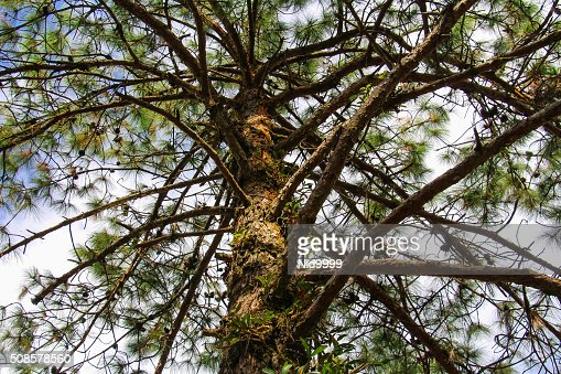 Pine tree. : Stock Photo