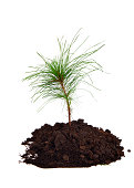 Pine tree sapling in dirt pile