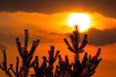 pine tree silhouette on a red evening sky background