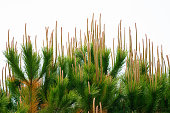 fresh pine tree sprouts