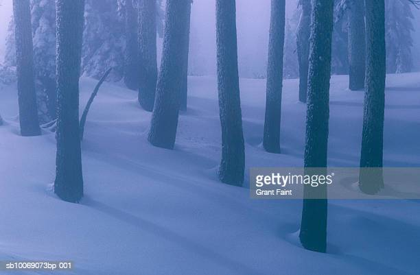 Pine tree trunks in snow covered forest