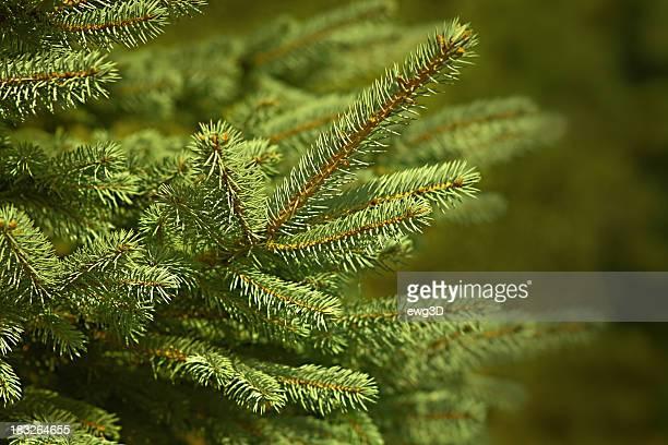 Pine Tree - Twig