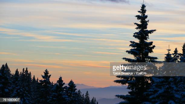 Pine Trees Against Sky During Sunset