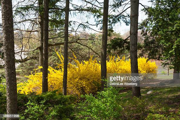 Pine Trees and Blooming Forsythia