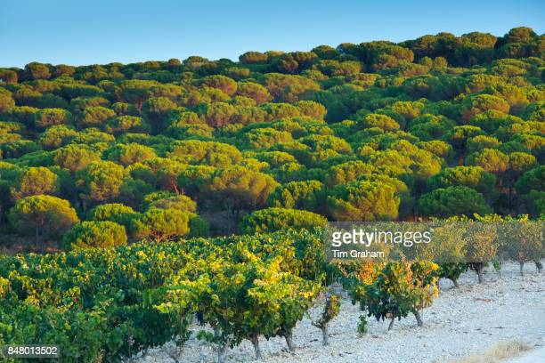 Pine trees and vineyard in ribera del Duero wine production area Valladolid Spain