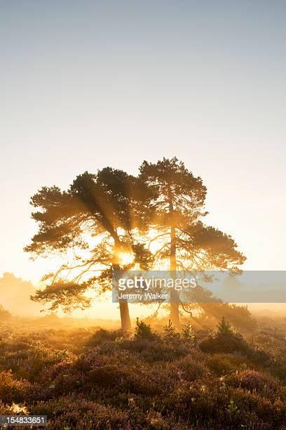Pine trees at dawn