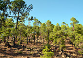Pine trees growing at a volcanic landscape in the Teide National Park,Tenerife.