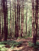 Pine Trees Growing In Forest