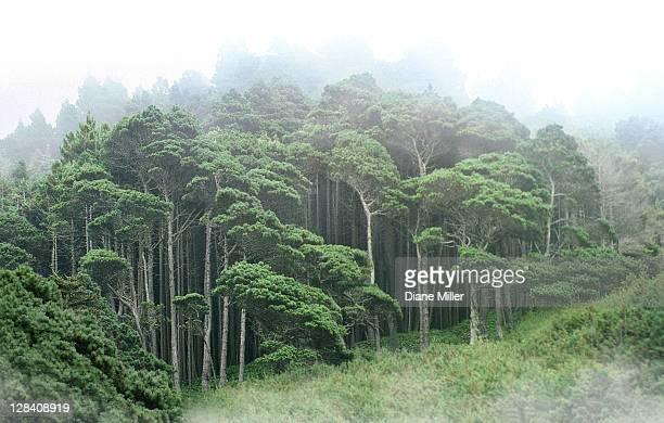 pine trees in fog along sonoma coast
