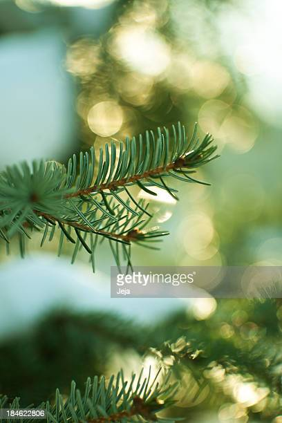 Pine trees in the middle of winter time for Christmas