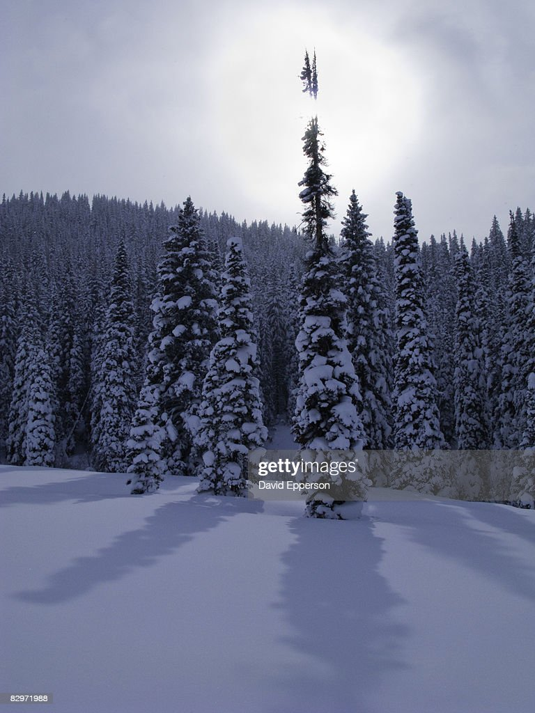 Pine trees in winter snow bildbanksbilder getty images - Images of pine trees in snow ...