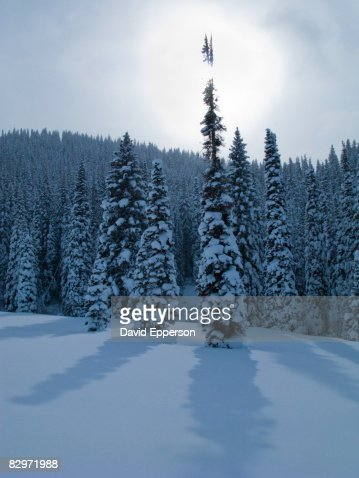 Pine trees in winter snow