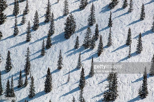 Pine trees interspersed on ski trail.