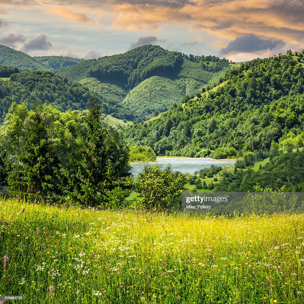 pine trees near meadow in mountains : Stock Photo