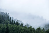pine trees on mountain in mist