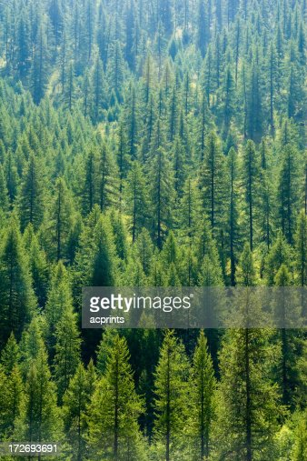 Pine trees on mountain side