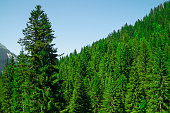 Pine trees in the mountains. Nature background.
