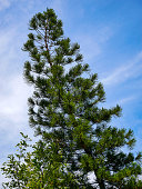 Pine trees are perennials. Beautiful shape.