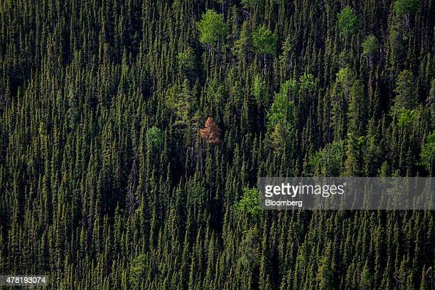 Pine trees stand in this aerial photograph taken above a forest near Whitecourt Alberta Canada on Thursday June 4 2015 Since the late 1990s the...