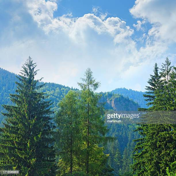 Pine trees with forest covered mountains
