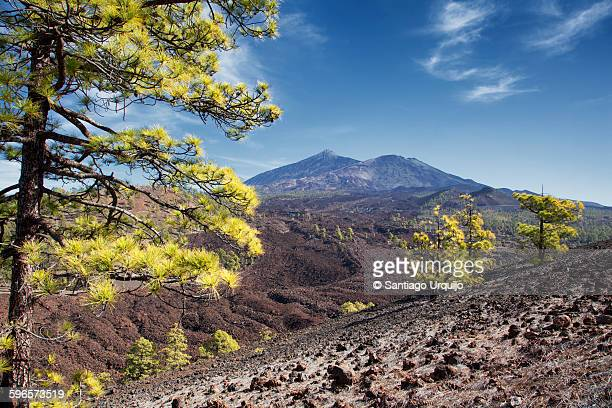 Pine trees with Teide volcano on background
