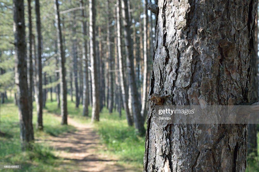 Troncal de pinos, en un bosque de pinos : Foto de stock