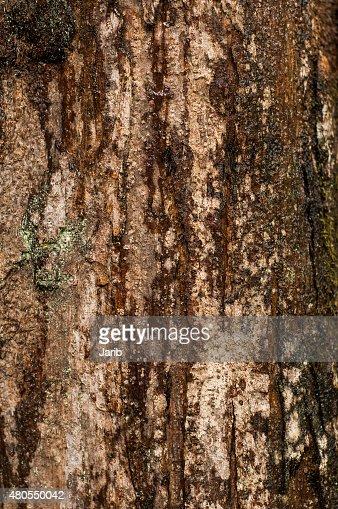 Pine Trunk : Foto de stock