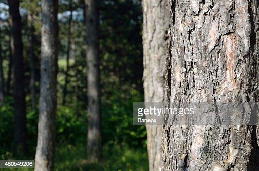 Calções de Pine : Foto de stock